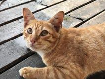 Μια χρυσή τιγρέ γάτα Στοκ Εικόνες