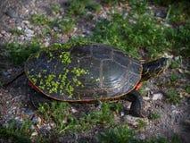Μια χρωματισμένη χελώνα στο φυσικό βιότοπό του Στοκ εικόνα με δικαίωμα ελεύθερης χρήσης