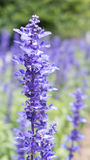 Μια χλωμή απόχρωση του ιώδους Lavender ανθών κλάδου λουλουδιών Στοκ Φωτογραφίες