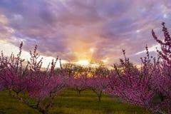 Μια όμορφη ανθίζοντας φυτεία με τριανταφυλλιές των δέντρων ροδακινιών και ενός φωτεινού ηλιοβασιλέματος Στοκ φωτογραφία με δικαίωμα ελεύθερης χρήσης