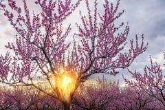 Μια όμορφη ανθίζοντας φυτεία με τριανταφυλλιές των δέντρων ροδακινιών και ενός φωτεινού ηλιοβασιλέματος Στοκ Φωτογραφίες