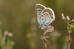 Μια όμορφη ασημένιος-στερεωμένη αρσενικό μπλε πεταλούδα Plebejus Argus που σκαρφαλώνει στην ερείκη Στοκ φωτογραφία με δικαίωμα ελεύθερης χρήσης