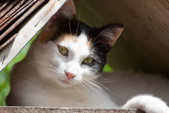 Μια όμορφη γάτα κάτω από την κάλυψη Στοκ Εικόνα
