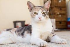 Μια όμορφη γάτα που κοιτάζει επίμονα στο φακό καμερών στοκ εικόνα με δικαίωμα ελεύθερης χρήσης
