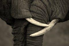 Μια όμορφη εικόνα δύο αφρικανικών ελεφάντων που αλληλεπιδρούν και που παρουσιάζουν αγαπά και effection Στοκ Φωτογραφία