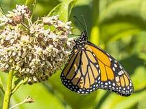 Μια όμορφη θηλυκή πεταλούδα μοναρχών γνωστή επίσης ως η πεταλούδα στοκ φωτογραφία