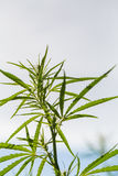 Μια όμορφη κάνναβη που αυξάνεται στον κήπο Κινηματογράφηση σε πρώτο πλάνο φύλλων κάνναβης στοκ εικόνες με δικαίωμα ελεύθερης χρήσης