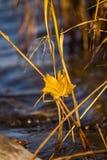 Μια όμορφη, κίτρινη ξηρά ανάπτυξη χλόης στις όχθεις του ποταμού στοκ φωτογραφία