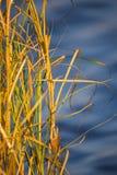 Μια όμορφη, κίτρινη ξηρά ανάπτυξη χλόης στις όχθεις του ποταμού στοκ εικόνα με δικαίωμα ελεύθερης χρήσης