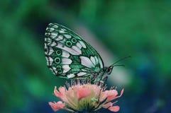 Μια όμορφη και ζωηρόχρωμη πεταλούδα συλλέγει τη γύρη από το λουλούδι στοκ φωτογραφία με δικαίωμα ελεύθερης χρήσης