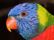 Μια όμορφη κινηματογράφηση σε πρώτο πλάνο ενός παπαγάλου της Lori στοκ φωτογραφία με δικαίωμα ελεύθερης χρήσης
