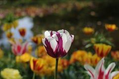 Μια όμορφη κινηματογράφηση σε πρώτο πλάνο τουλιπών στον κήπο λουλουδιών την άνοιξη Στοκ φωτογραφία με δικαίωμα ελεύθερης χρήσης