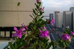 Μια όμορφη νεφελώδης ανατολή πρωινού στην πόλη του Αμπού Ντάμπι χαλάρωση της επικής άποψης από το μπαλκόνι με τα όμορφα λουλούδια στοκ φωτογραφία με δικαίωμα ελεύθερης χρήσης
