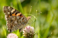 Μια όμορφη πεταλούδα πίνει το νέκταρ από ένα ρόδινο λουλούδι μια ηλιόλουστη ημέρα macrophotography εκλεκτική εστίαση με ένα μικρό στοκ φωτογραφία με δικαίωμα ελεύθερης χρήσης