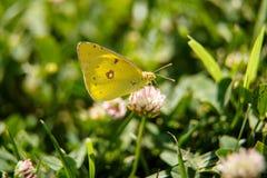Μια όμορφη πεταλούδα πίνει το νέκταρ από ένα ρόδινο λουλούδι μια ηλιόλουστη ημέρα macrophotography εκλεκτική εστίαση με ένα μικρό στοκ φωτογραφία