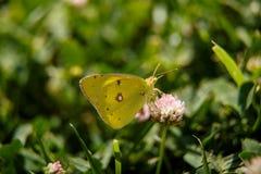 Μια όμορφη πεταλούδα πίνει το νέκταρ από ένα ρόδινο λουλούδι μια ηλιόλουστη ημέρα macrophotography εκλεκτική εστίαση με ένα μικρό στοκ εικόνες