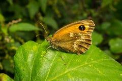 Μια όμορφη πεταλούδα θυρωρών σε ένα φύλλο Στοκ εικόνα με δικαίωμα ελεύθερης χρήσης