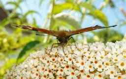 Μια όμορφη πεταλούδα Peacock που ταΐζει με ένα λουλούδι Στοκ Εικόνες