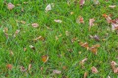 Μια όμορφη σύσταση των καφετιών και κίτρινων ξηρών φύλλων φθινοπώρου είναι στην πράσινη χλόη στοκ φωτογραφία