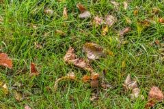 Μια όμορφη σύσταση των καφετιών και κίτρινων ξηρών φύλλων φθινοπώρου είναι στην πράσινη κινηματογράφηση σε πρώτο πλάνο χλόης στοκ φωτογραφίες με δικαίωμα ελεύθερης χρήσης