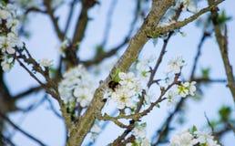 Μια bumble μέλισσα περπατά πάνω από ένα λουλούδι δέντρων δαμάσκηνων Στοκ Φωτογραφίες