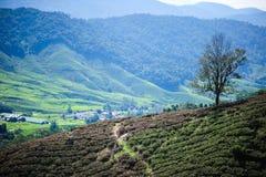 Μια facinating άποψη στη φυτεία τσαγιού στην ορεινή περιοχή του Cameron Στοκ Εικόνες