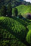 Μια facinating άποψη στη φυτεία τσαγιού στην ορεινή περιοχή του Cameron Στοκ Φωτογραφίες