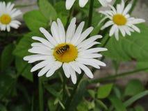 Μια mimicry-μύγα που βουίζει σε μια μαργαρίτα στοκ εικόνες με δικαίωμα ελεύθερης χρήσης