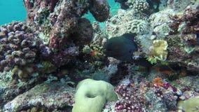 Μια moray κρύβοντας κοραλλιογενής ύφαλος απόθεμα βίντεο