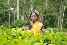 Μια tamil γυναίκα από τη Σρι Λάνκα σπάζει τα φύλλα τσαγιού Στοκ Εικόνες
