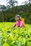 Μια tamil γυναίκα από τη Σρι Λάνκα σπάζει τα φύλλα τσαγιού Στοκ Φωτογραφία