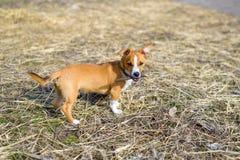 Μιγάς στενός επάνω Σκυλί στην επαρχία στοκ εικόνα με δικαίωμα ελεύθερης χρήσης