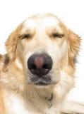 Μιγάς στενός επάνω σκυλιών Στοκ φωτογραφίες με δικαίωμα ελεύθερης χρήσης