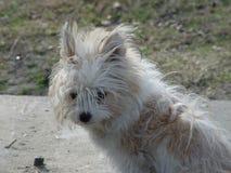 Μιγία σκυλί άσπρο και καφετί Στοκ φωτογραφία με δικαίωμα ελεύθερης χρήσης