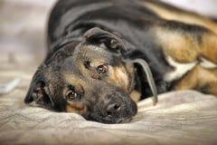 Μιγία σκυλί Στοκ Φωτογραφία
