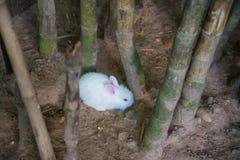 Μικρά άσπρα κουνέλια Στοκ φωτογραφία με δικαίωμα ελεύθερης χρήσης