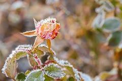 Μικρά άσπρα κρύσταλλα πάγου που διαμορφώνουν στο ροδαλό λουλούδι το πρωί Στοκ εικόνες με δικαίωμα ελεύθερης χρήσης