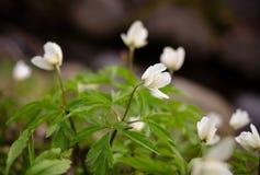 Μικρά άσπρα λουλούδια στοκ εικόνα