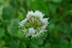 Μικρά άσπρα λουλούδια σε έναν πράσινο τομέα Στοκ εικόνα με δικαίωμα ελεύθερης χρήσης