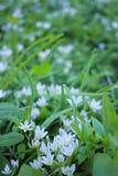 Μικρά άσπρα λουλούδια σε ένα πράσινο ξέφωτο Στοκ εικόνες με δικαίωμα ελεύθερης χρήσης