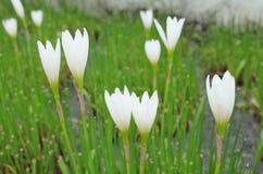 Μικρά άσπρα λουλούδια στον κήπο Στοκ Εικόνες
