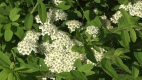 Μικρά άσπρα λουλούδια του spiraea απόθεμα βίντεο