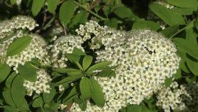 Μικρά άσπρα λουλούδια του spiraea φιλμ μικρού μήκους