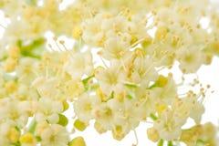 Μικρά άσπρα λουλούδια στοκ εικόνες