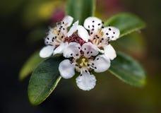 Μικρά άσπρα λουλούδια Στοκ εικόνα με δικαίωμα ελεύθερης χρήσης
