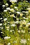 Μικρά άσπρα λουλούδια Στοκ Φωτογραφίες