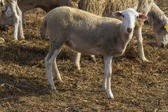 Μικρά άσπρα πρόβατα, κατοικίδιο ζώο, κατοικίδιο ζώο, ζώο αγροκτημάτων στοκ φωτογραφία με δικαίωμα ελεύθερης χρήσης