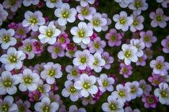 Μικρά άσπρος-ρόδινα λουλούδια τονισμένος στο ευγενές μαλακό σκοτεινό υπόβαθρο υπαίθρια, μακροεντολή κινηματογραφήσεων σε πρώτο πλ στοκ φωτογραφία με δικαίωμα ελεύθερης χρήσης