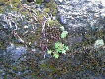 Μικρά δέντρα ζωής στον παλαιό τοίχο, Phattalung, Ταϊλάνδη Στοκ Φωτογραφίες