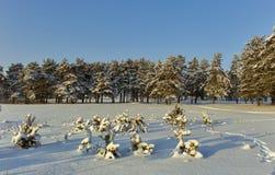 Μικρά δέντρα πεύκων που καλύπτονται με το χιόνι Στοκ Εικόνες